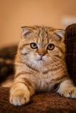 Gatto amabile del popolare dello Scottish Immagini Stock Libere da Diritti