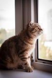Gatto amabile del popolare dello Scottish Fotografia Stock