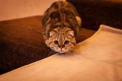 Gatto amabile del popolare dello Scottish Fotografie Stock