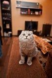 Gatto amabile del popolare dello Scottish Immagine Stock
