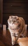 Gatto amabile del popolare dello Scottish Fotografia Stock Libera da Diritti