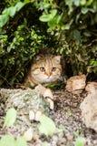 Gatto amabile del popolare dello Scottish in natura Fotografie Stock