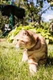 Gatto amabile del popolare dello Scottish in natura Fotografia Stock