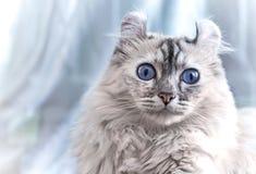 Gatto americano dell'arricciatura Fotografia Stock Libera da Diritti