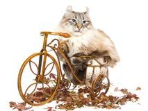 Gatto americano dell'arricciatura sulla mini bicicletta Immagine Stock Libera da Diritti
