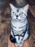 Gatto americano dello shorthair con gli occhi verdi Gattino d'argento del soriano sedersi sul pavimento di legno d'annata, pensan fotografia stock