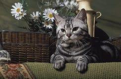 Gatto americano di Shorthair Fotografia Stock