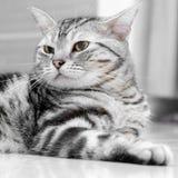 Gatto americano di Shorthair Fotografia Stock Libera da Diritti