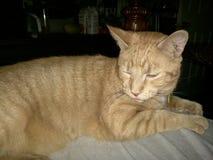 Gatto arancio Immagini Stock