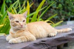 Gatto arancio Fotografia Stock