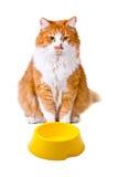Gatto arancio e bianco affamato con la ciotola vuota Immagini Stock
