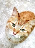 Gatto arancio fotografie stock