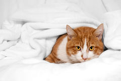Gatto arancio timido che si nasconde in coperta bianca Immagini Stock