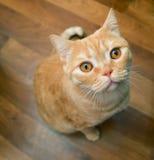 Gatto arancione Fotografie Stock