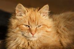 Gatto arancione Fotografie Stock Libere da Diritti