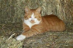 Gatto arancione del Tom Fotografia Stock