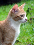 Gatto arancione e bianco immagine stock