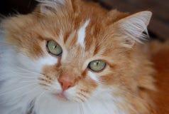 Gatto arancione e bianco, fine in su Fotografie Stock Libere da Diritti