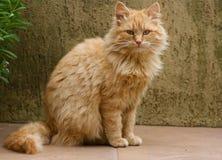 Gatto arancione europeo Fotografia Stock