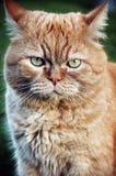 Gatto arancione persiano Immagini Stock