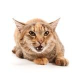Gatto arrabbiato Immagine Stock