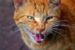 Gatto arrabbiato Fotografie Stock