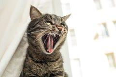 Gatto arrabbiato Immagine Stock Libera da Diritti