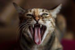 Gatto arrabbiato Immagini Stock Libere da Diritti