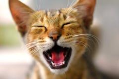 Gatto arrabbiato di risata di espressione del gatto fotografia stock