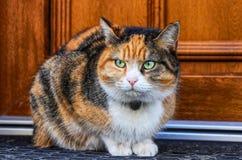 Gatto arrabbiato domestico che si siede davanti alla porta di entrata Il gattino è scocciato Felis catus Colourful che aspetta su immagine stock