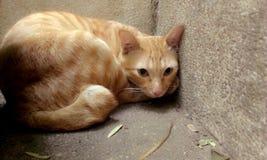 gatto Asia Fotografie Stock