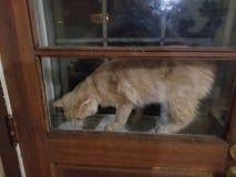 Gatto attaccato nella finestra della porta fotografie stock