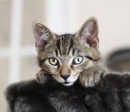 Gatto attento del gattino fotografia stock libera da diritti