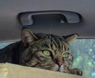 Gatto in automobile Fotografia Stock Libera da Diritti