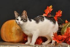 Gatto in autunno con le zucche Fotografia Stock