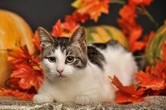 Gatto in autunno con le zucche Fotografia Stock Libera da Diritti