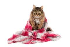 Gatto avvolto in uno scialle di lana Fotografie Stock Libere da Diritti
