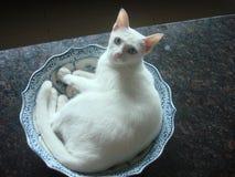 Gatto bianco astuto Fotografia Stock