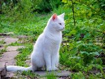 Gatto bianco che guarda al lato Fotografia Stock