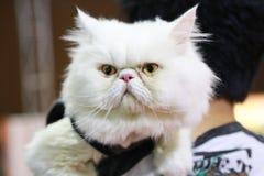 Gatto bianco che osserva in su Fotografie Stock