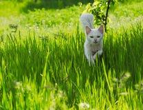 Gatto bianco che passa l'erba verde Fotografia Stock Libera da Diritti