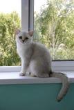 Gatto bianco che si siede su una finestra Fotografie Stock