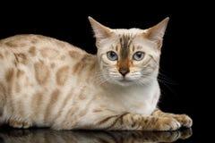 Gatto bianco come la neve del Bengala isolato su fondo nero immagine stock libera da diritti
