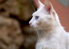 Gatto bianco con gli occhi azzurri Immagini Stock