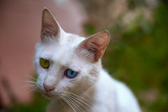 Gatto bianco con gli occhi blu e verdi Fotografie Stock