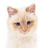 Gatto bianco con gli occhi grigi Immagine Stock Libera da Diritti