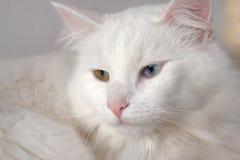 Gatto bianco con l'eterocromia Immagine Stock