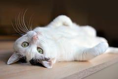 Gatto bianco del soriano con gli occhi verdi ed il naso rosa che si trovano sottosopra sulla parte posteriore sul pavimento di le fotografia stock libera da diritti