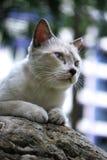 Gatto bianco della pelliccia Fotografie Stock