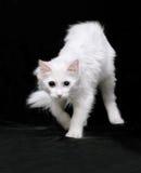 Gatto bianco di angora fotografie stock libere da diritti